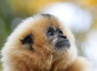 """Mütter werden getötet, um Nachwuchs zu verkaufen / Der Gibbon ist das """"Zootier des Jahres 2019"""""""