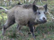Was Wildschweine mit Wahlen gemein haben