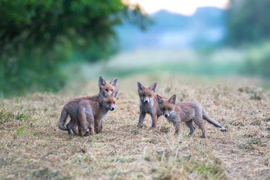 In Luxemburg funktioniert die Natur auch ohne Fuchsjagd / Jagdverbot geht in das fünfte Jahr