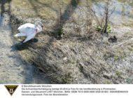 FW-M: Verletzter Schwan benötigt Hilfe (Altstadt-Lehel)
