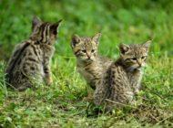 Niedlich aber wild: Wildkätzchen nicht mitnehmen