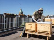 250.000 schwarz-gelbe neue Mitarbeiter für Spezialversicherer / Bienenvölker für die Wertgarantie Group in Hannovers Innenstadt