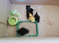 POL-DO: Entenfamilie legt Verkehr auf Autobahn lahm - Rettung der Küken - Entenmama ist flüchtig