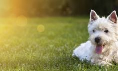 Rechtzeitig aufs Hundeherz hören / Frühzeitig diagnostiziert lassen sich Auswirkungen von Herzerkrankungen spürbar mildern