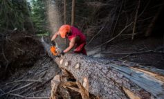 Holzschlag nimmt wegen Borkenkäfer zu