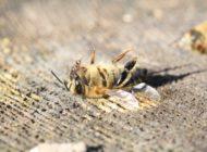 Bienen in Gefahr! EU verwässert Leitlinien zum Bienenschutz