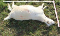 LPI-J: Erste Ergebnisse zur Todesursache bei Schafen und Ziegen in Cospeda