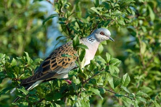 NABU und LBV: Turteltaube ist der Vogel des Jahres 2020 / Der gefiederte Liebesbote steht auf der globalen Roten Liste