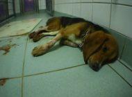Undercover in Deutschlands geheimsten, privaten Tierversuchslabor / Erschütternde Beweise: Rechtsbrüche, Gewalt gegen Tiere und sterbende, blutende Hunde