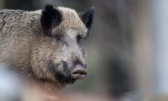Weitere Schweinepest-Fälle in Polen – nahe Grenze zu Deutschland
