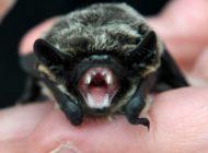 Wie gefährlich sind Fledermäuse in der Schweiz?