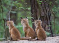 Jagdpresse jubelt: Jäger dürfen auch in Hessen wieder Fuchsbabys erschlagen