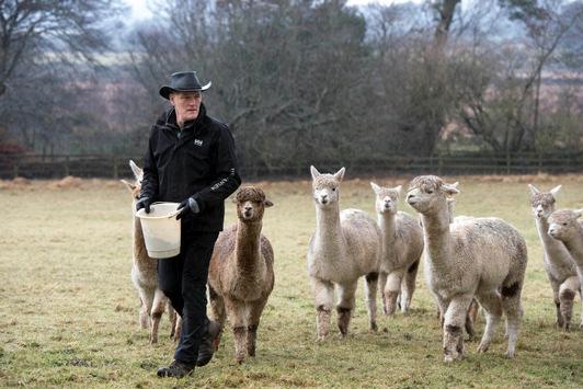 Tierisches Vergnügen garantiert / In Irland bietet ein Farmer seine Alpakas für virtuelle Touren und Video-Konferenzen an
