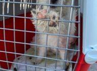 HZA-B: Berliner Zöllner retten sechs Hundewelpen Verstoß gegen Tierschutzgesetz