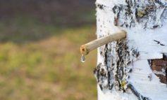 Traditionelles, energiereiches und mineralstoffreiches Frühlings-Detox mit natürlichem und kalorienarmen Birkenwasser - für einen Körper in Balance