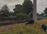 BPOL-HB: Schafe von Bahnstrecke gerettet: Schäfer gesucht