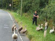 POL-Bremerhaven: Polizei fängt Schwäne ein